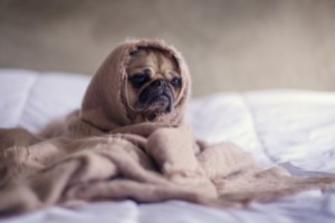 Who Can Relate To This Lazy Pug Today?
